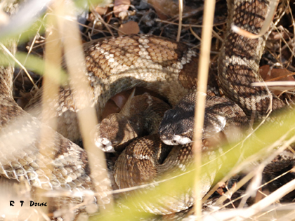Two Pacific Rattlesnakes